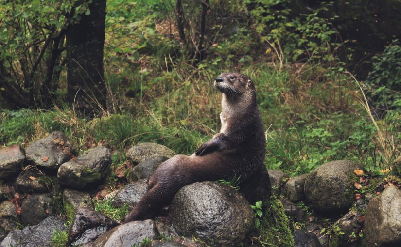 Otter sitting on a rock, thinking about how to record calls for social science interviews